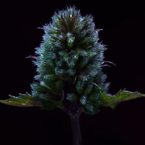 Close up of mint bud